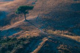 Foto di un campo di grano al tramonto ed un pino solitario